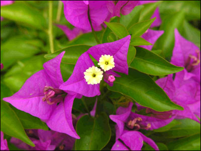 Colorful bracts and tiny flowers of bougainvillea