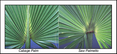 Comparison of cabbage palm and saw palmetto foliage