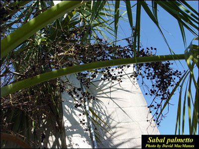 Cabbage palm fruit hanging from tree
