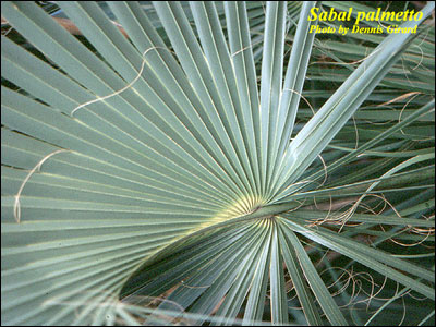 Threads of cabbage palm