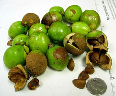 Camellia seed pods and seeds