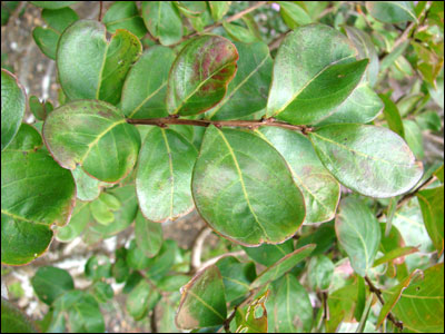 Foliage of crapemyrtle