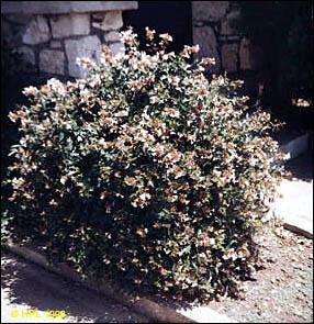 Plant Id Ornamentals Glossy Abelia Florida Master Gardener