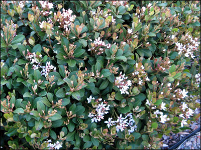 plant id ornamentals indian hawthorn florida master