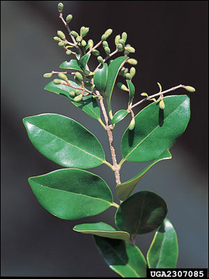 Japanese privet foliage and fruit