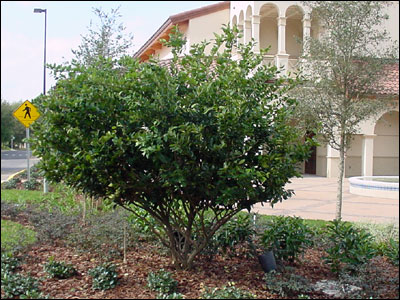 Japanese privet shrub