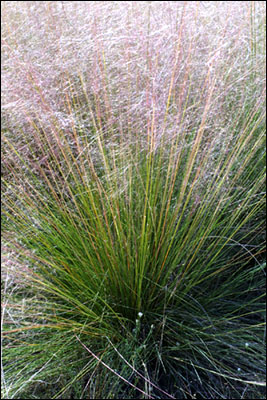 Green foliage of Muhly grass