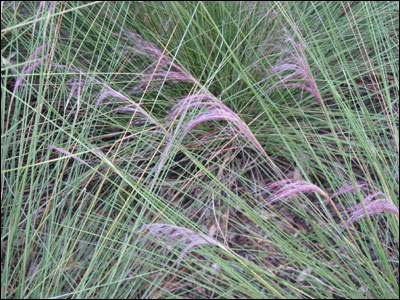 More Muhly grass foliage