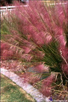 Muhly grass in El Paso Texas