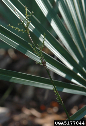 Needle palm flower