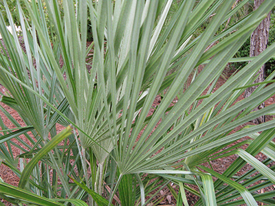 Needle palm foliage, Susan Wildes