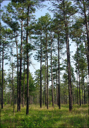 Stand of longleaf pines