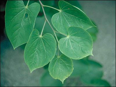Plant Id Ornamentals Redbud Florida Master Gardener