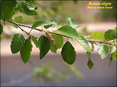 River Birch Leaf Identification http://gardeningsolutions.ifas.ufl.edu/mastergardener/outreach/plant_id/ornamentals/river_birch.shtml