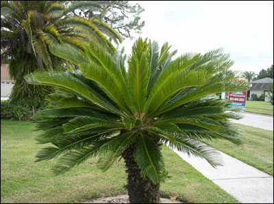 Sago palm in yard