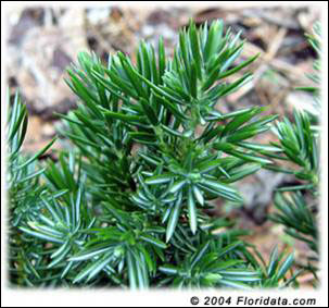 Close-up of shore juniper foliage