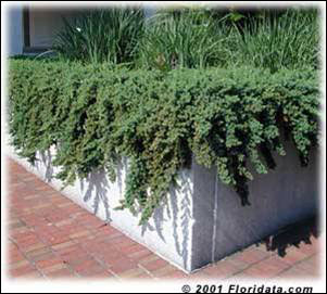 Shore juniper in planter