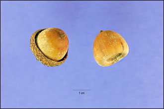 Acorns of the Shumard oak