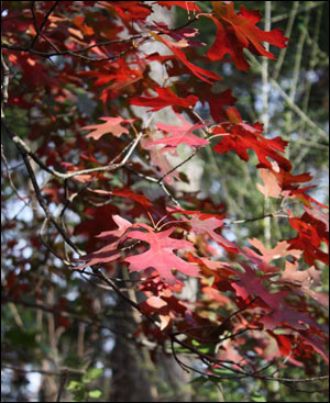Shumard oak's red fall foliage