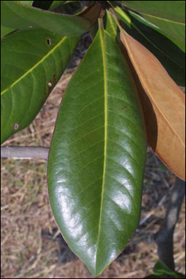 Leaf of Southern magnolia