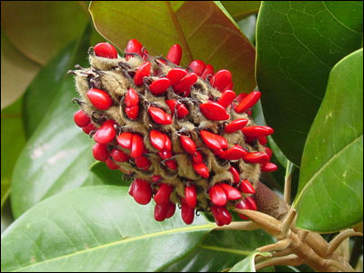 Fruit of Southern magnolia