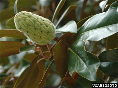 Young fruit of Southern magnolia