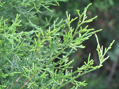 Foliage of mature southern red cedar