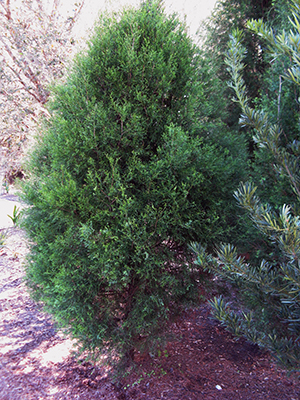 Small southern red cedar