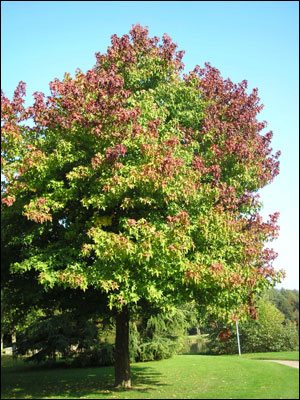 Sweet gum tree with green leaves turning color