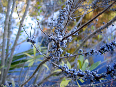Fruit of wax myrtle