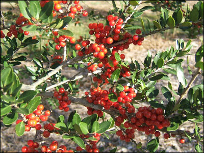 Yaupon holly fruit