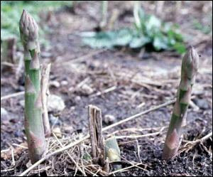 Asparagus spears growing