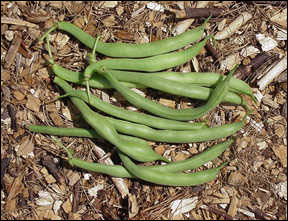 Edible pods of snap beans