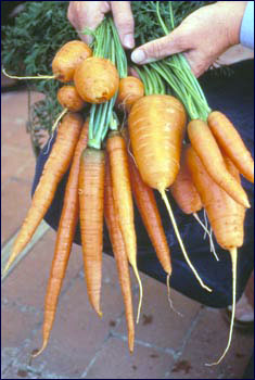 Edible roots of carrots