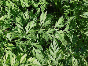 Foliage of carrot