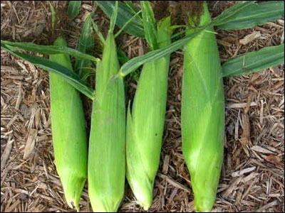 Ears of corn in their husks