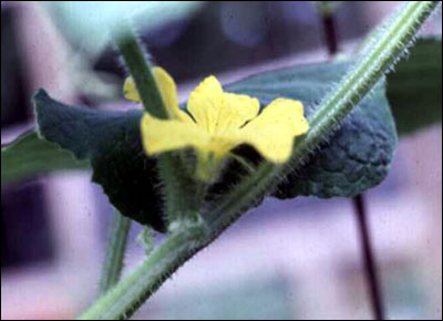 Flower of cucumber plant