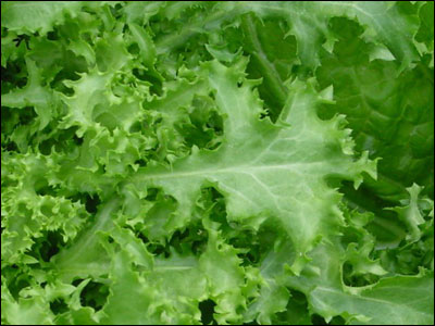 Close up of endive foliage