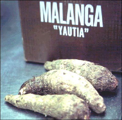 Edible cormels of malanga