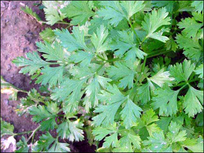 Flat Leaf Parsley Plant