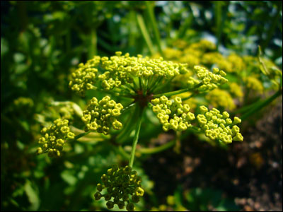 Flower of parsnip
