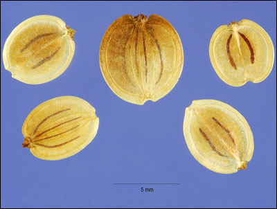 Seeds of parsnip