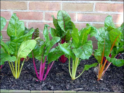 Colorful cultivars of swiss chard