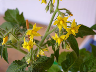 Flowers Of Tomato Plant