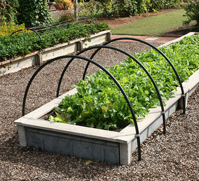 Raised beds with lettuce
