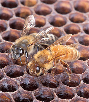 Adult African honey bees