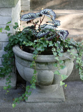 Angel wing begonia in planter with ivy