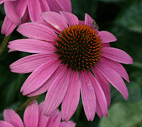 Purple coneflower, aka echinacea
