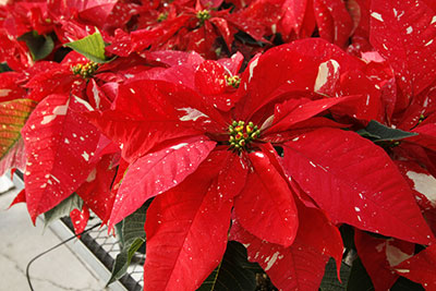 Red poinsettias with white speckles