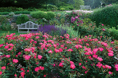 A landscape bed full of pink Knock Out roses